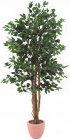 Ficus Benjamini 150 cm