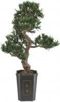 Bonsai Podocarpus 80 cm