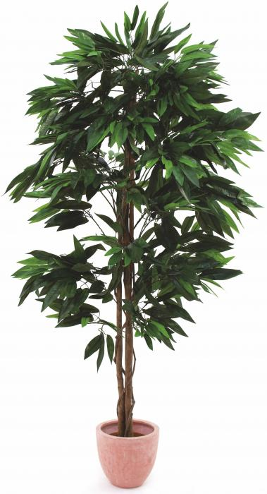 Mangobaum 180 cm