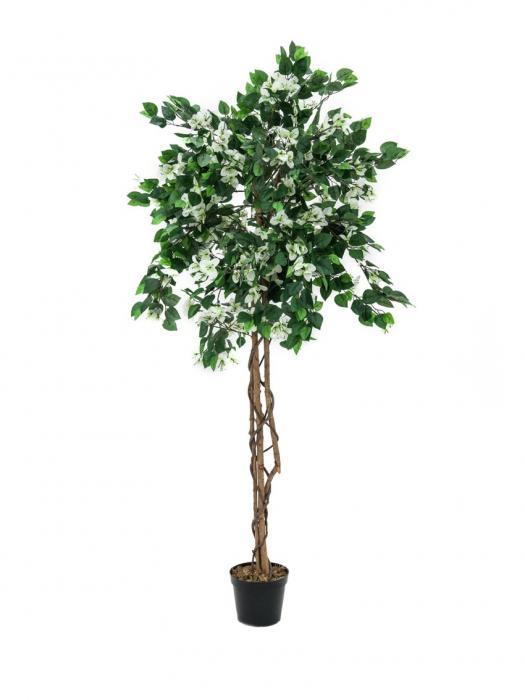 Bougainvillea weiß 180 cm