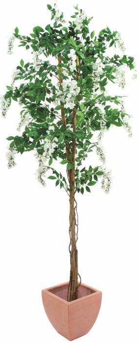 Goldregenbaum weiß 180 cm