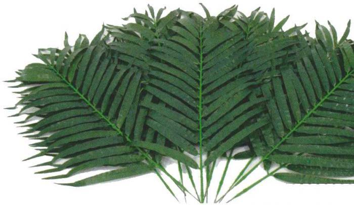 Cocospalmwedel, 12 Stück 80 cm